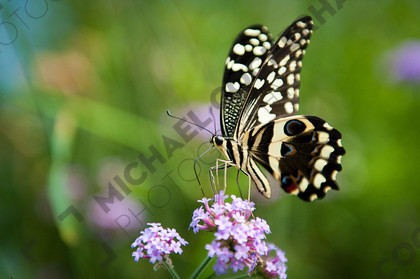 mhc-can 813 d175   Butterfly drinking from flowers   Keywords: Butterfly, green, drink, environment, summer, flowers, nectar, fragile, pretty, nature